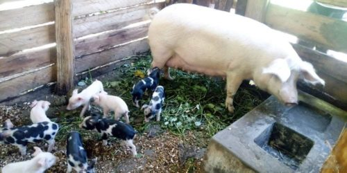 uphill piggery project